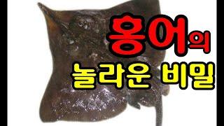 [홍어의 놀라운 비밀]