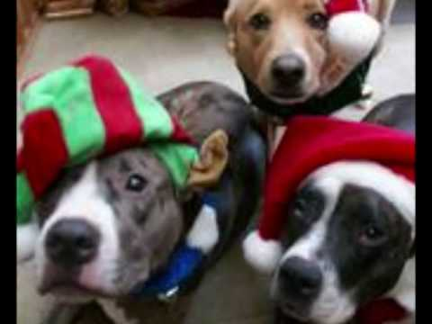 christmas pitbull pictures
