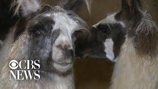 Several llamas found dead at farm near Louisville Zoo