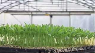 Rozsada papryki. Uprawa i pielęgnacja roślin.