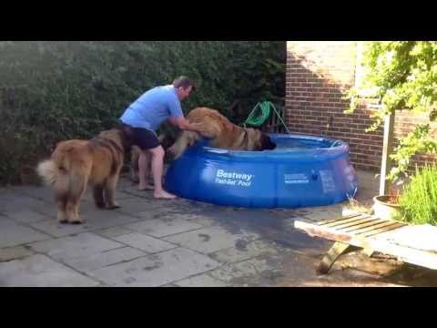 Leonberger's go for a swim