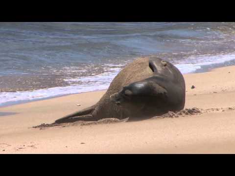 Rare Hawaiian Monk Seal vs Dragonfly