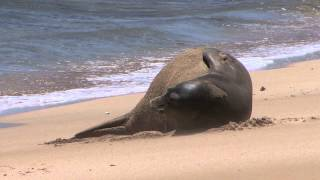 Rare Hawaiian Monk Seal vs Dragonfly