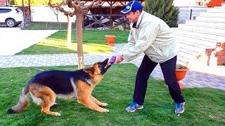 Рой Дакарыч. Кобель Немецкой овчарки 9 месяцев. Roy Dakarych. Male German Shepherd 9 months.