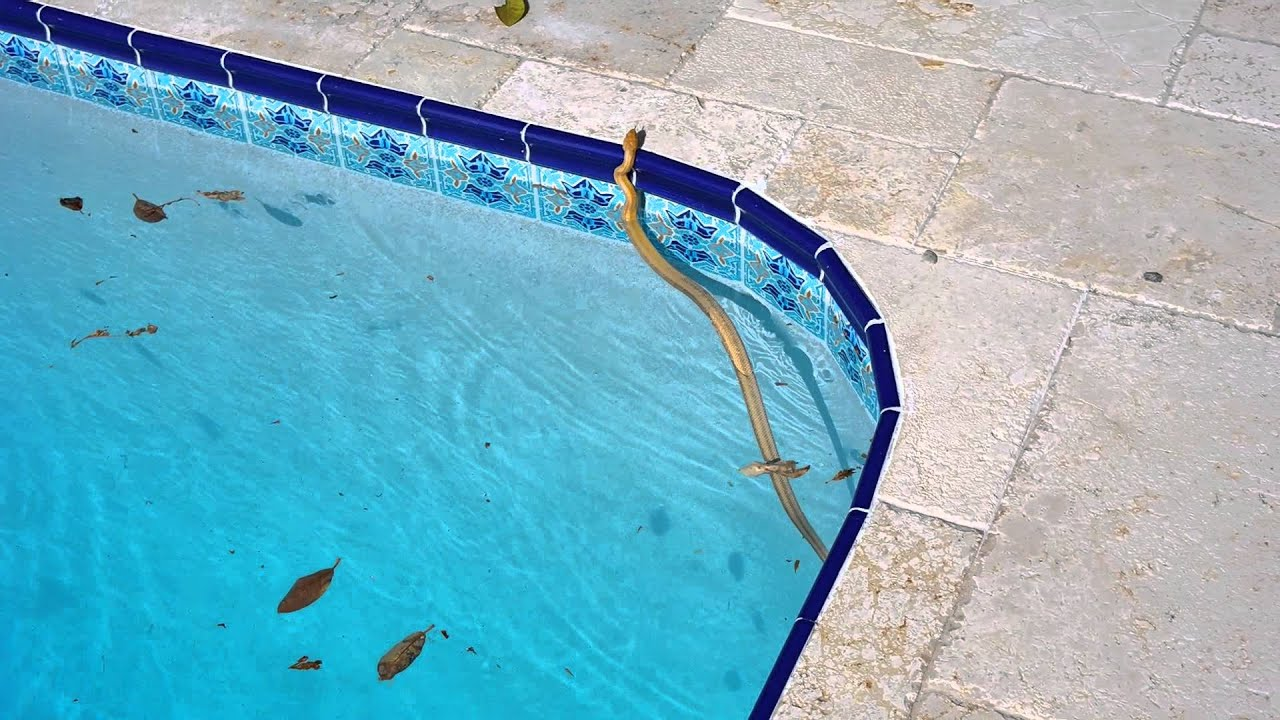 snake in my pool youtube. Black Bedroom Furniture Sets. Home Design Ideas