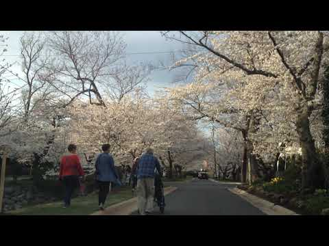 Cherry Blossom Walking in Kenwood, Maryland