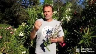 Plantes médicinales : Sauge officinale et Sauge sclarée