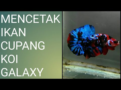 Inilah Ikan Cupang Termahal Di Dunia Harganya Selangit Youtube