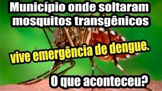 Alerta! Municípios onde soltaram mosquitos transgênicos vive emergência de dengue. O que aconteceu?