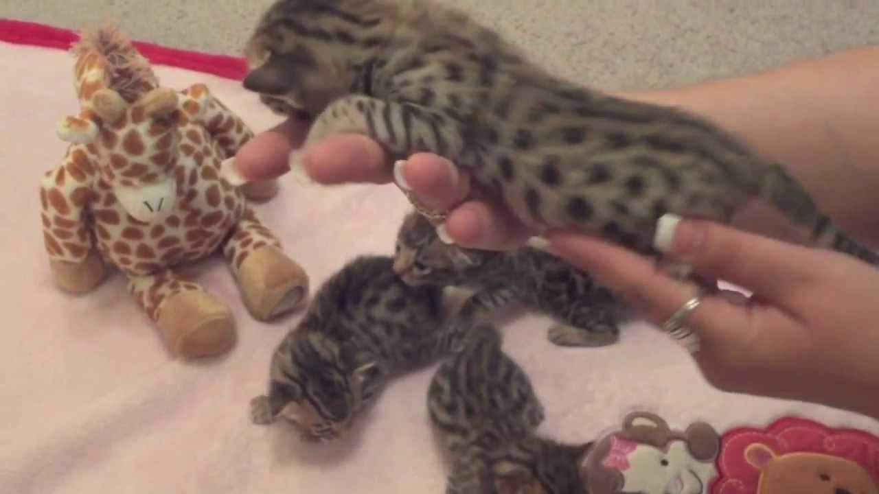 F5 Savannah Kittens at 2 weeks old Savannah Cats WildTafari