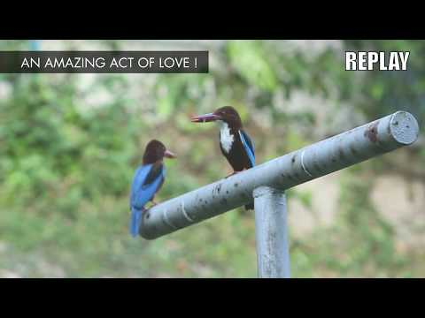 The White-Throated Kingfisher's Act Of Love