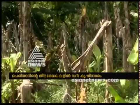 Banana and Tapioca farmings destroyed in the banks of Periyar