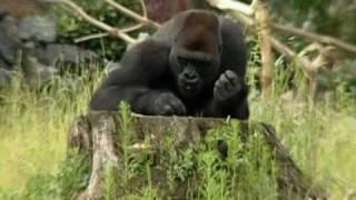 Opolskie goryle