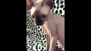 Кошка канадский свинкс