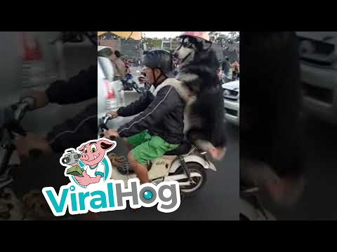Jason King - WATCH: Dog & Human Enjoy Piggyback Motorcycle Ride