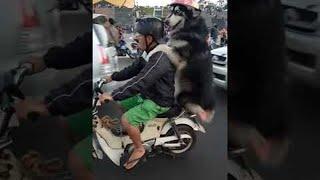 Dog and Owner Piggyback Motorcycle Ride || ViralHog