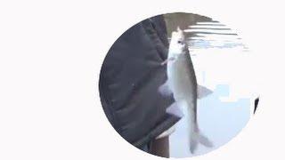 Рыбалка на Енисее. На Ельца. На хариуса. На налима. Рыбалка ловля хариуса(Самца от самочки отличить очень легко по спинному плавнику у самца спиной плавник большой, почти с ладонь..., 2013-10-05T18:10:50.000Z)
