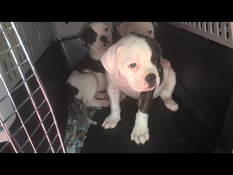 My American Bulldogs Puppies. Good Morning Haters.
