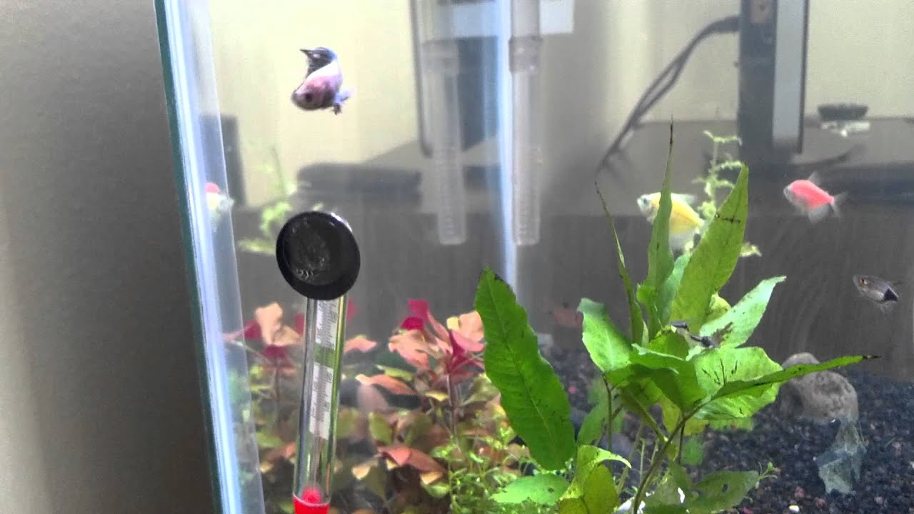 Can betta fish live in a community tank youtube for Can you put betta fish with other fish