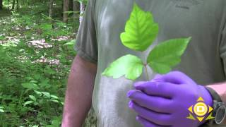 How to identify poison ivy and stay away!