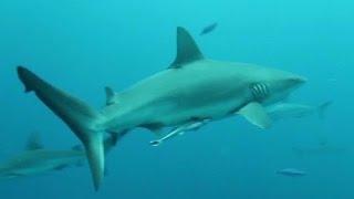 Beaches open despite shark attacks
