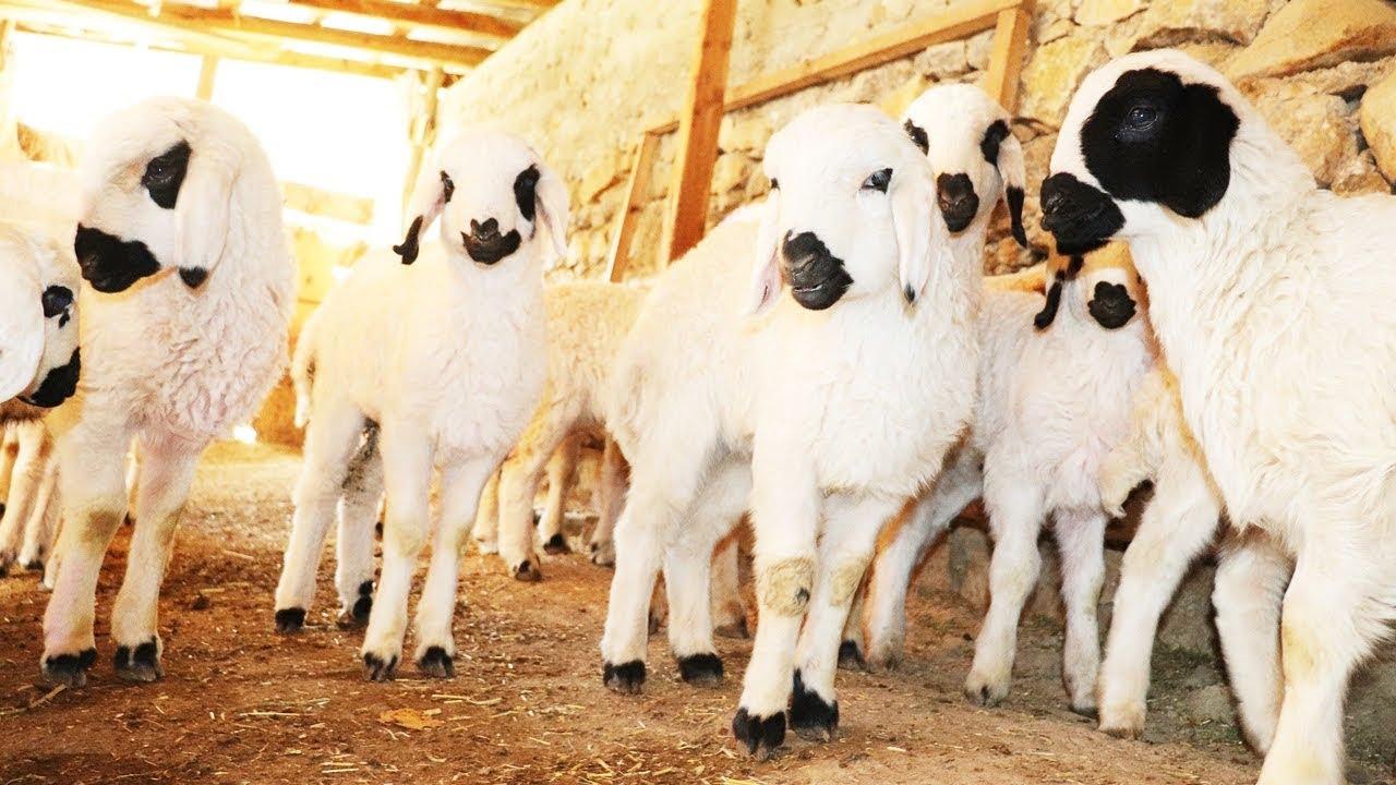 kambing lucu , domba kecil ,  Kambing Kecil , Domba Lucu , Hewan lucu , Hewan Kecil