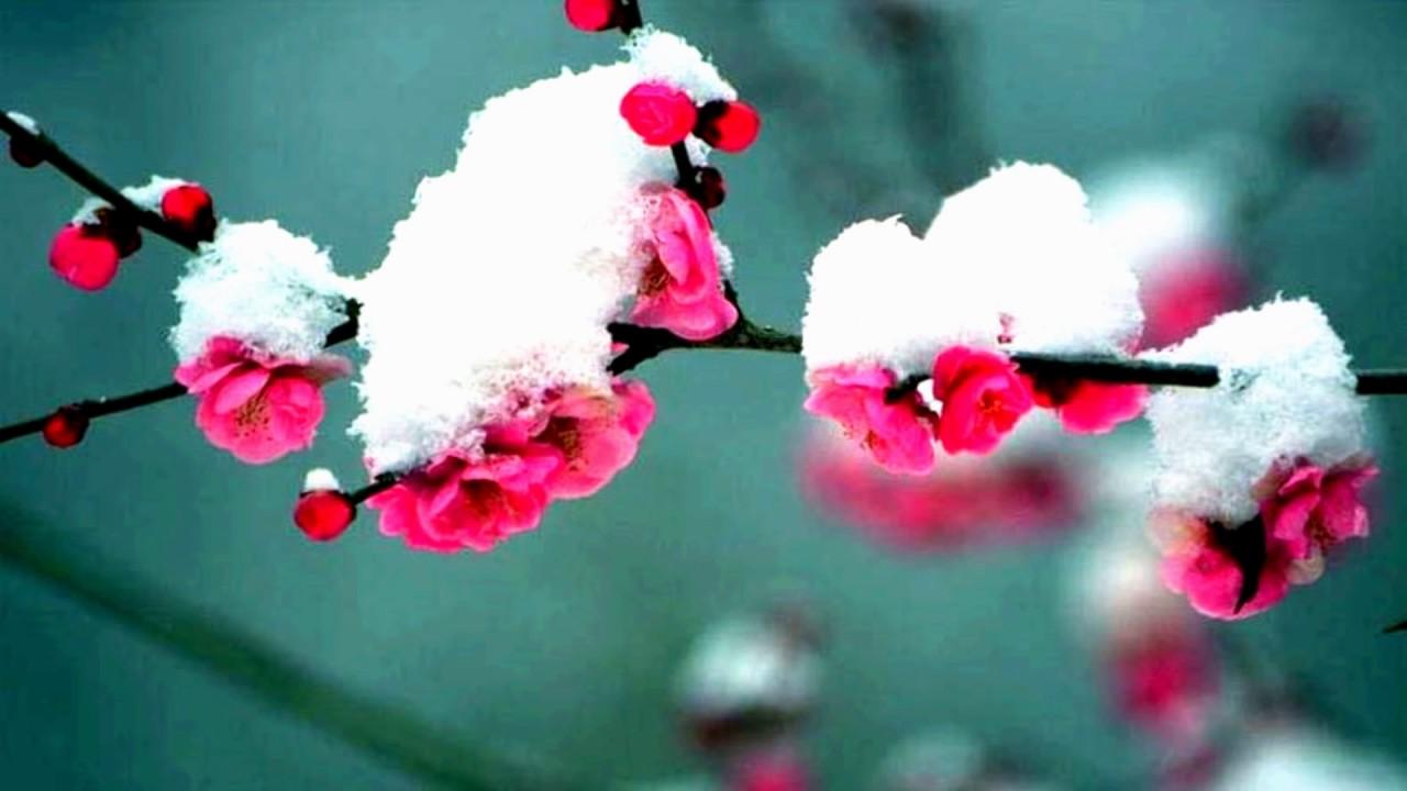 plum blossom  hd1080p