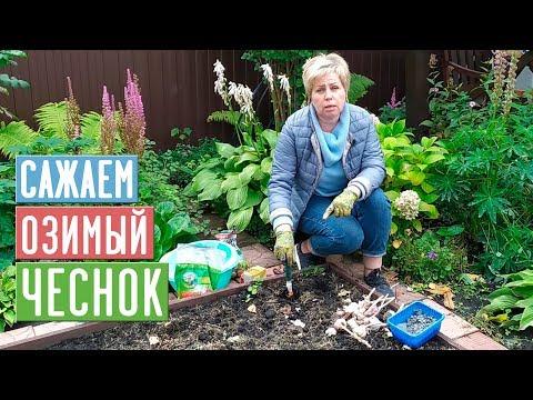 Как правильно посадить озимый чеснок, чтобы получить хороший урожай
