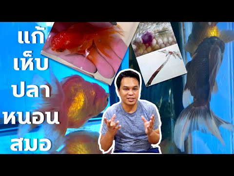 เห็บปลา/หนอนสมอ ภัยร้ายใกล้ตัวปลา : บรรเทาทุกข์ปลาทอง : ฮัลโหลพาเพลิน EP.11