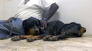 This Weary Rottweiler Is Getting The Care And Attention She Badly Needs