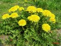 HOW TO GROW DANDELION AT HOME