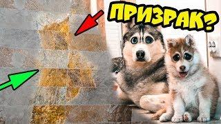 DOGVLOG: НА МОЕЙ СТЕНЕ ХАСКИ ПРИЗРАК? МИСТИКА! Первая дрессировка щенка. Говорящая собака