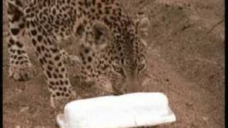 JV tries to save Mother Leopard after lions attacked her