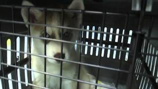Picking Up Our Siberian Husky Memphis At The Airport