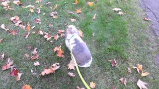 Bunny Leash Training