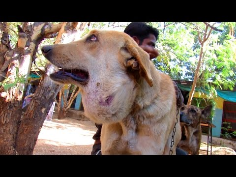 Abscess big as balloon on street dog treated and healed