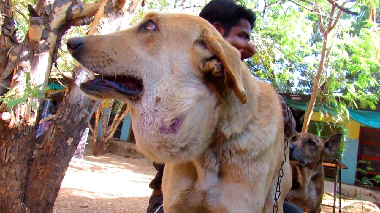 Large Abscess On Dog