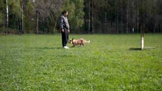 Cattledog - Obedience