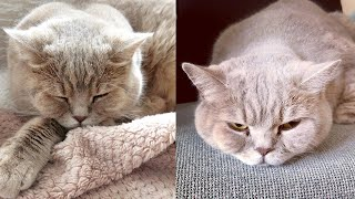 British Shorthair Cat Breed # 2