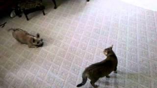 Cat Beats Up Cairn Terrier