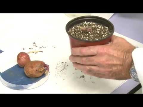 Reproduccion asexual de las plantas por medio de tuberculos