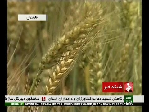 Iran Mazandaran province harvesting wheat برداشت گندم استان مازندران ايران