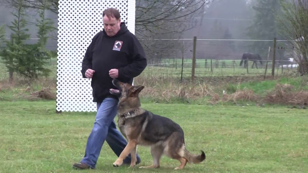 Trained sable German Shepherd For Sale