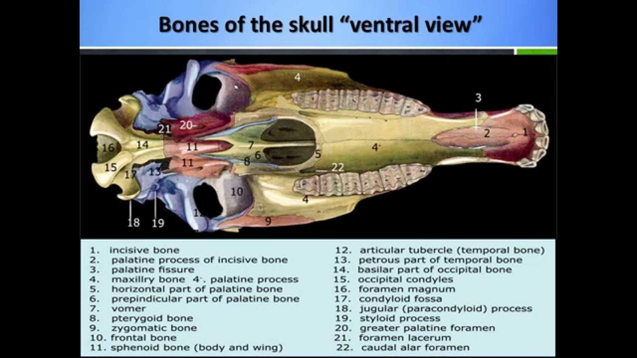Anatomy of the skull of the domestic animals: Part 1 - YouTube