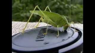 Grasshopper drinks water