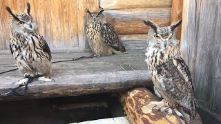 There is no such thing as too many owls! Compare Eagle owls in Kolomenskoye