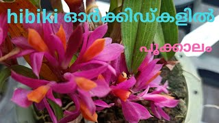 hibiki orchid care#hihiki orchid flowering update malayalam #