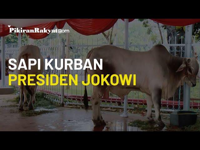Presiden Jokowi Serahkan Sapi Kurban Seberat 1 Ton ke Masjid Istiqlal untuk Idul Adha 1441 Hijriah