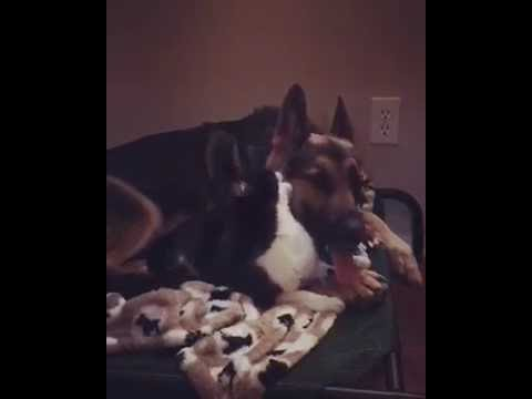 Cat Licks Dog Before He Sleeps