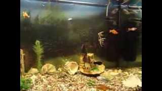 Совместимость и содержание аквариумных рыбок(В очередной раз вас приветствует сайт http://akvarym.com. Сегодня мы представляем вам видеосюжет о том, с чего стоит..., 2014-01-20T18:14:53.000Z)